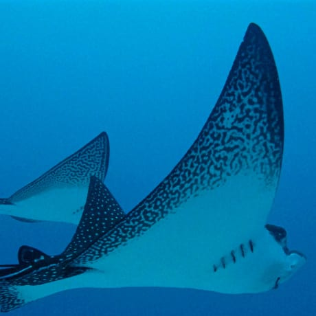 Eagle rays aux Galapagos